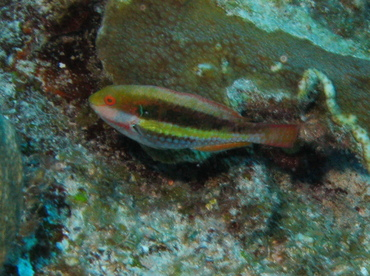Greenblotch Parrotfish - Sparisoma atomarium - Belize