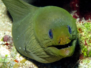 Green Moray Eel - Gymnothorax funebris - Belize