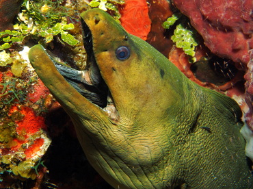 Green Moray Eel - Gymnothorax funebris - Turks and Caicos