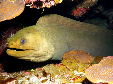 Green Moray Eel - Gymnothorax funebris - Grand Cayman