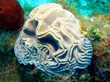 Grooved Brain Coral - Diploria labyrinthiformis - Turks and Caicos