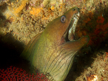 Panamic Green Moray Eel - Gymnothorax castaneus - Cabo San Lucas, Mexico