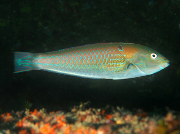 Chameleon Wrasse - Halichoeres dispilus - Cabo San Lucas, Mexico