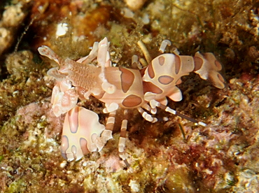 Harlequin Shrimp - Hymenocera picta - Anilao, Philippines