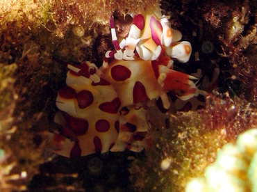 Harlequin Shrimp - Hymenocera picta - Lanai, Hawaii