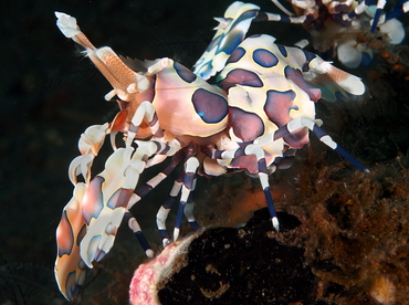 Harlequin Shrimp - Hymenocera picta - Bali, Indonesia