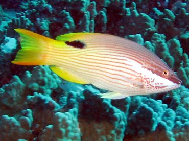 Hawaiian Hogfish - Bodianus albotaeniatus - Big Island, Hawaii
