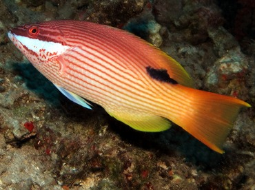 Hawaiian Hogfish - Bodianus albotaeniatus - Lanai, Hawaii