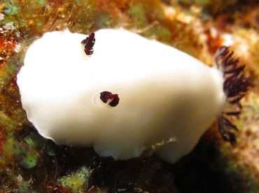 Fellow's Nudibranch - Hiatodoris fellowsi - Lanai, Hawaii
