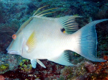 Hogfish - Lachnolaimus maximus - Key West, Florida