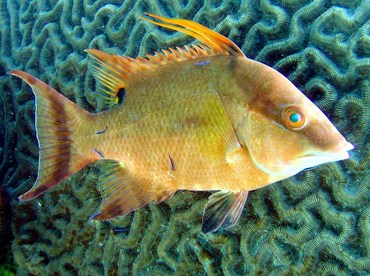 Hogfish - Lachnolaimus maximus - Key Largo, Florida