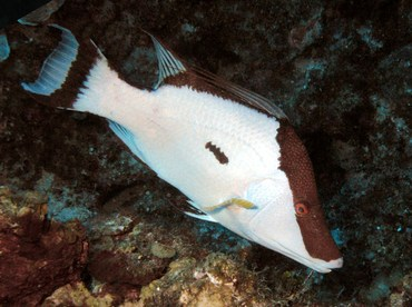 Hogfish - Lachnolaimus maximus - Grand Cayman
