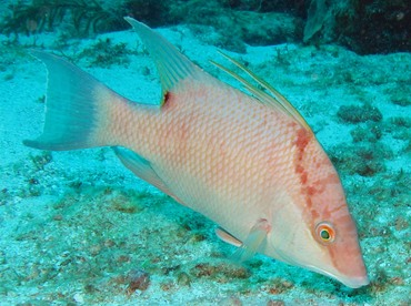 Hogfish - Lachnolaimus maximus - Belize
