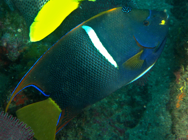 King Angelfish - Holacanthus passer - Cabo San Lucas, Mexico