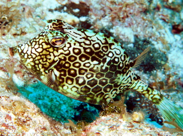 Honeycomb Cowfish - Acanthostracion polygonius - Turks and Caicos