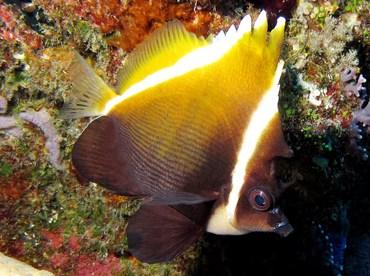 Humphead Bannerfish - Heniochus varius - Palau