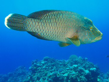 Humphead Wrasse - Cheilinus undulatus - Great Barrier Reef, Australia