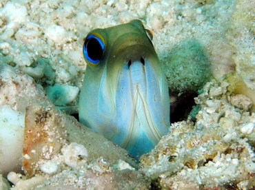 Yellowhead Jawfish - Opistognathus aurifrons - The Exumas, Bahamas