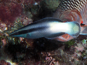 Bicolor Cleaner Wrasse - Labroides bicolor - Great Barrier Reef, Australia