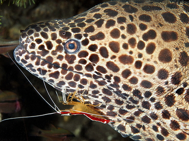 Laced moray Eel - Gymnothorax favagineus - Bali, Indonesia