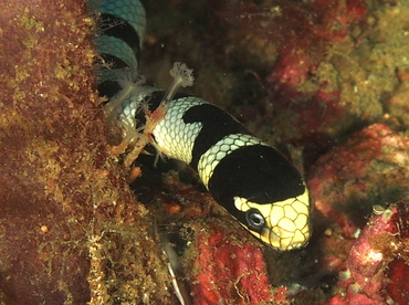 Banded Sea Krait - Laticauda colubrina - Anilao, Philippines