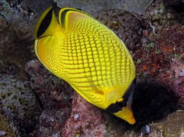 Latticed Butterflyfish - Chaetodon rafflesii - Palau