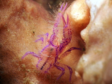 Hairy Squat Lobster - Lauriea siagiani - Lembeh Strait, Indonesia