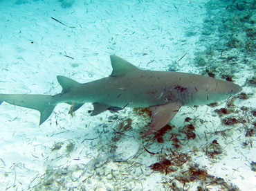 Lemon Shark - Negaprion brevirostris - The Exumas, Bahamas