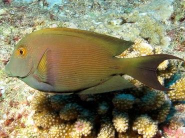 Lined Bristletooth - Ctenochaetus striatus - Palau