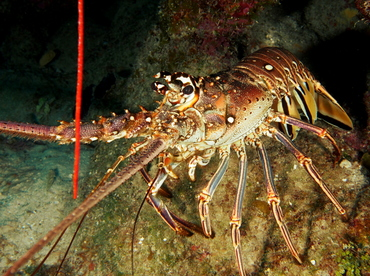 Caribbean Spiny Lobster - Panulirus argus - The Exumas, Bahamas