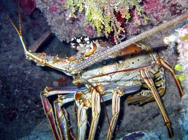 Caribbean Spiny Lobster - Panulirus argus - Little Cayman