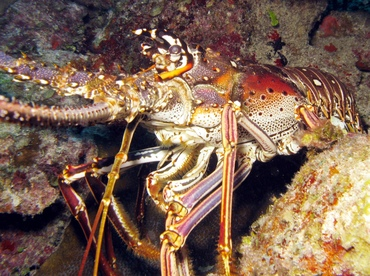 Caribbean Spiny Lobster - Panulirus argus - Belize