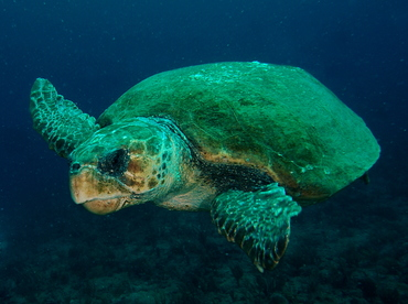 Loggerhead Turtle - Caretta caretta - Palm Beach, Florida