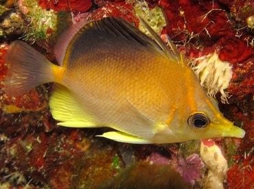 Longsnout Butterflyfish - Prognathodes aculeatus - Bonaire