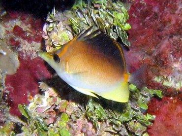 Longsnout Butterflyfish - Prognathodes aculeatus - Roatan, Honduras