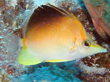 Longsnout Butterflyfish - Prognathodes aculeatus - Turks and Caicos