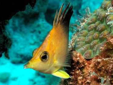 Longsnout Butterflyfish - Prognathodes aculeatus - Nassau, Bahamas