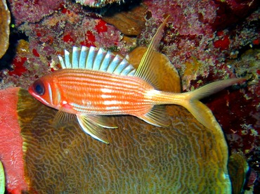 Longspine Squirrelfish - Holocentrus rufus - Grand Cayman