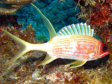 Longspine Squirrelfish - Holocentrus rufus - Turks and Caicos