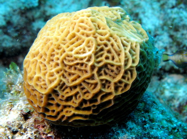 Low Relief Lettuce Coral - Agaricia humilis - Belize