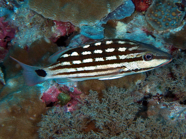 Checkered Snapper - Lutjanus decussatus - Wakatobi, Indonesia