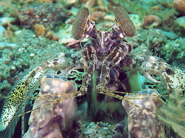 Scaly-Tailed Mantis Shrimp - Lysiosquilla scabricauda - Blue Heron Bridge, Florida