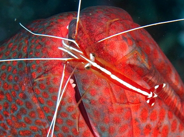 White-Banded Cleaner Shrimp - Lysmata amboinensis - Bali, Indonesia
