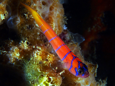 Bluebanded Goby - Lythrypnus dalli - Cabo San Lucas, Mexico