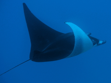 Reef Manta Ray - Manta alfredi - Big Island, Hawaii