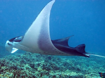 Reef Manta Ray - Manta alfredi - Maui, Hawaii