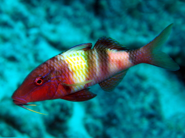 Manybar Goatfish - Parupeneus multifasciatus - Big Island, Hawaii