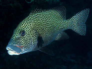 Many-Spotted Sweetlips - Plectorhinchus chaetodonoides - Great Barrier Reef, Australia