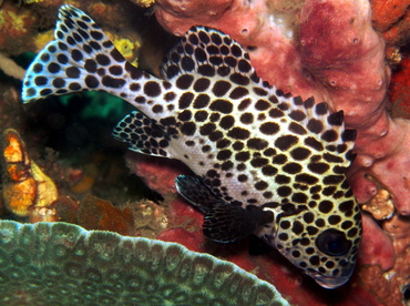 Many-Spotted Sweetlips - Plectorhinchus chaetodonoides - Lembeh Strait, Indonesia