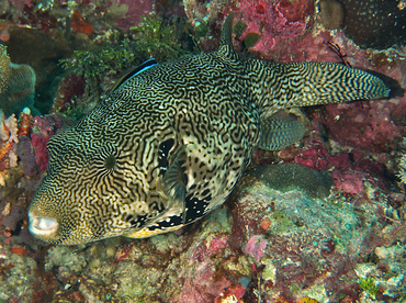 Map Puffer - Arothron mappa - Wakatobi, Indonesia
